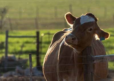 why we love guernsey cow article